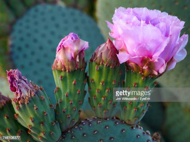 Close-Up Of Pink Cactus Flower