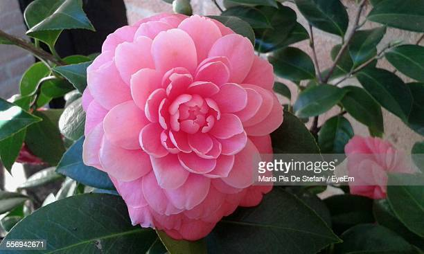 Close-Up Of Pink Camellia Blooming At Park