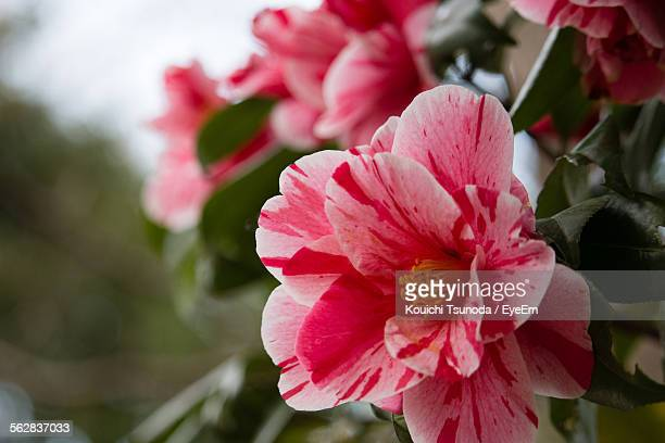 Close-Up Of Pink Camellia Flowers