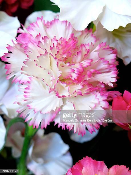 Close-Up Of Pink Carnation Blooming Outdoors