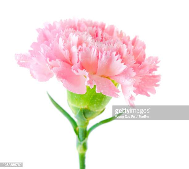 close-up of pink carnation flower against white background - carnation flower stock pictures, royalty-free photos & images