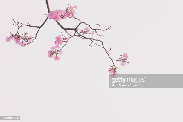 close-up of pink cherry blossom against clear sky - kirschblüte stock-fotos und bilder