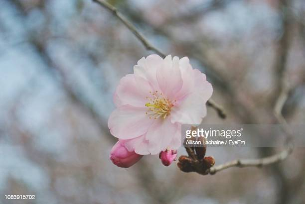 Close-Up Of Pink Cherry Blossom On Tree