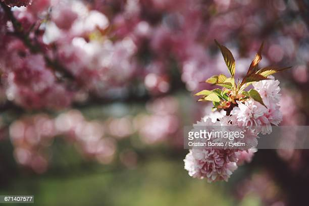 close-up of pink cherry blossom - bortes foto e immagini stock