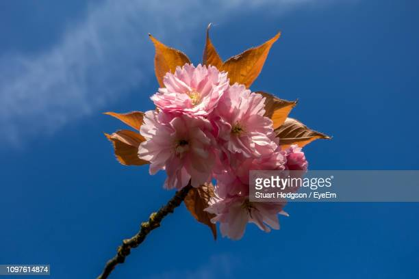 close-up of pink cherry blossoms against blue sky - cherry blossom stock pictures, royalty-free photos & images