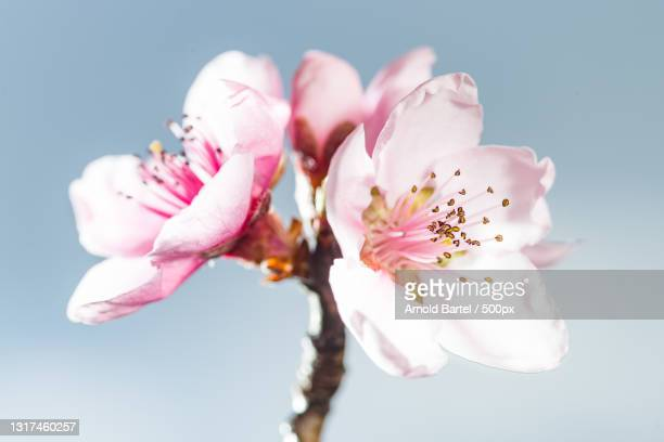 close-up of pink cherry blossoms against sky,graz,austria - baum stock pictures, royalty-free photos & images