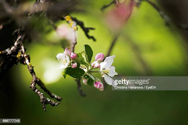 Close-Up Of Pink Cherry Blossoms Growing On Branch