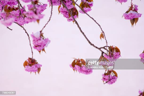 close-up of pink cherry blossoms in spring - cherry kiss photos et images de collection