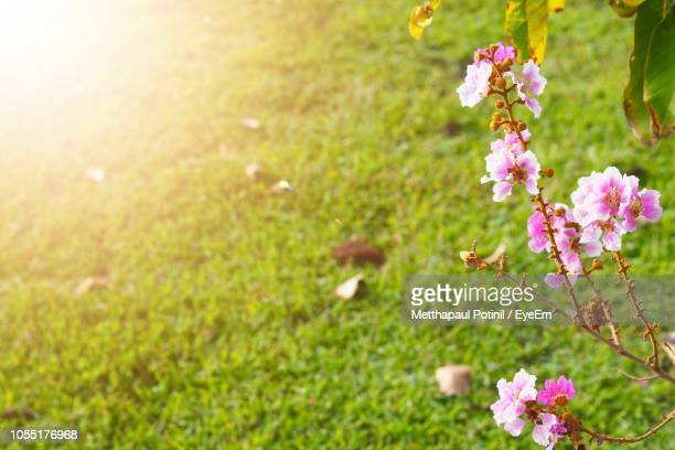 close-up of pink cherry blossoms on field - metthapaul stock photos and pictures