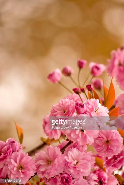 close-up of pink cherry blossoms - tolga erbay stock photos and pictures