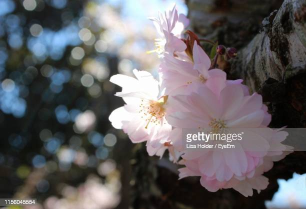 close-up of pink cherry blossoms - carolina cherry photos et images de collection