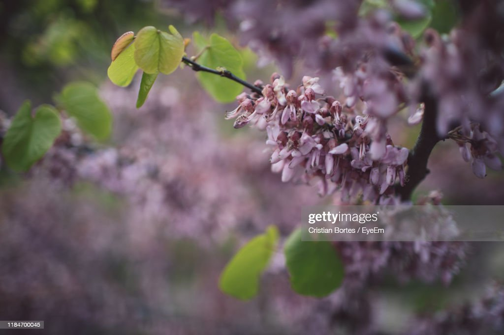 Close-Up Of Pink Cherry Blossoms : Stock Photo