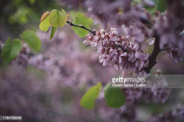 close-up of pink cherry blossoms - bortes stock photos and pictures