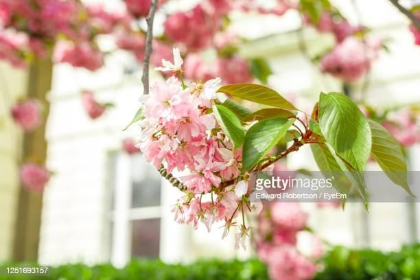 close-up of pink cherry blossoms - cherry blossom stock pictures, royalty-free photos & images