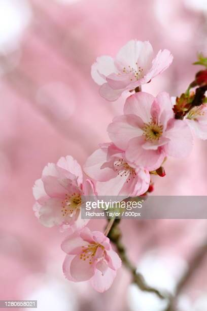 close-up of pink cherry blossoms,wales,united kingdom,uk - blossom stock pictures, royalty-free photos & images