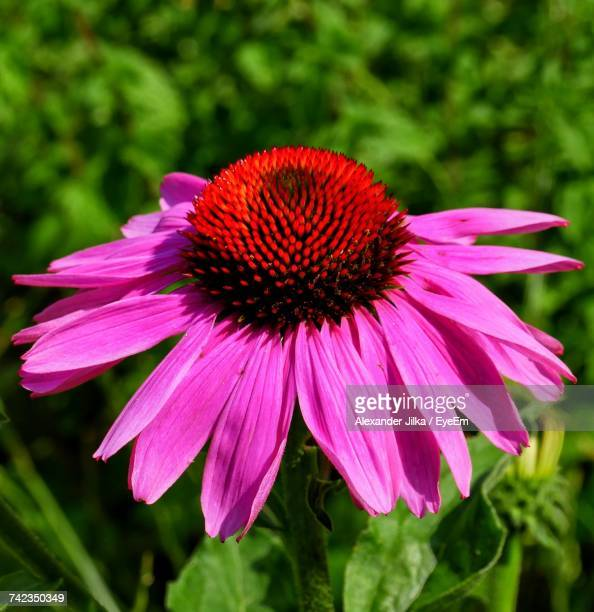 Close-Up Of Pink Coneflower Blooming Outdoors