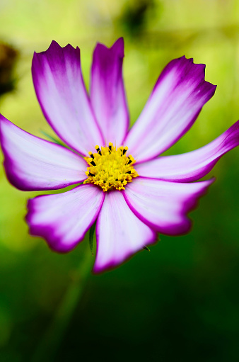 Close-up of pink cosmos (Cosmos bipinnatus), Bangalore, India - gettyimageskorea