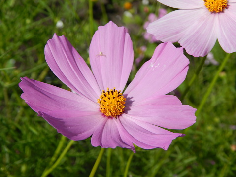 Close-Up Of Pink Cosmos Flower On Field - gettyimageskorea