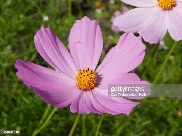 close-up of pink cosmos flower on field - cosmos flower stock photos and pictures