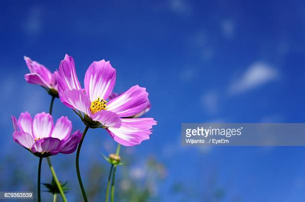 close-up of pink cosmos flowers against blue sky - cosmos flower stock photos and pictures