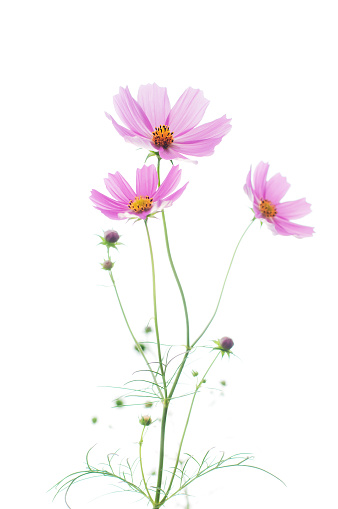 Close-Up Of Pink Cosmos Flowers Against White Background - gettyimageskorea