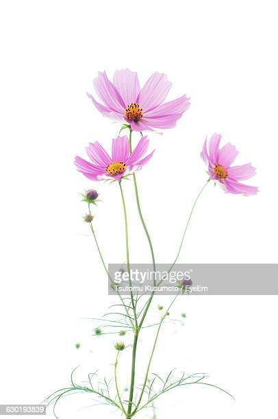 Close-Up Of Pink Cosmos Flowers Against White Background