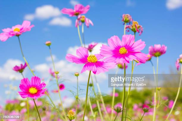 close-up of pink cosmos flowers blooming on field - flower part stock pictures, royalty-free photos & images