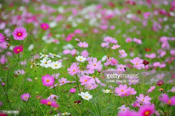 Close-Up Of Pink Cosmos Flowers Blooming On Field