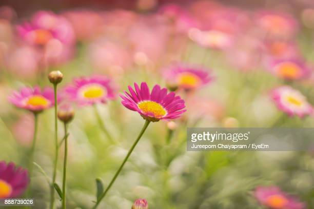 close-up of pink cosmos flowers blooming outdoors - cosmos flower stock photos and pictures