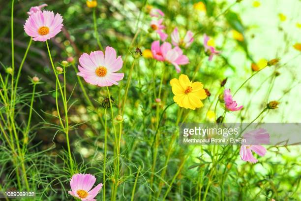 close-up of pink cosmos flowers on field - metthapaul stock photos and pictures