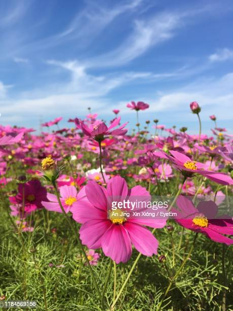 close-up of pink cosmos flowers on field - 北九州市 ストックフォトと画像