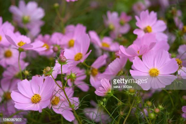 close-up of pink cosmos flowers on field - cosmos flower stock pictures, royalty-free photos & images