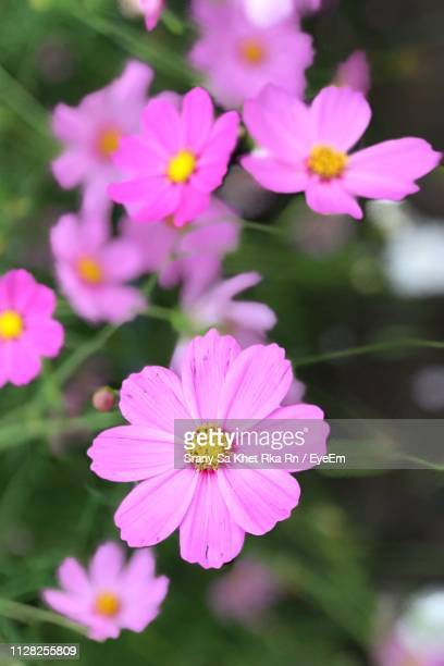 close-up of pink cosmos flowers - cosmos flower stock photos and pictures