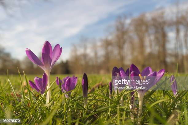 Close-Up Of Pink Crocus Blooming Against Sky