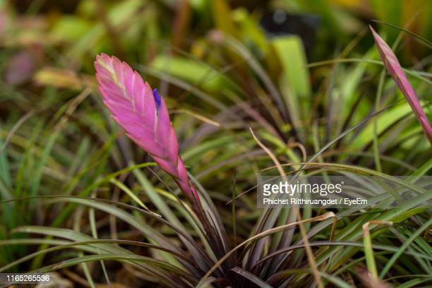 close-up of pink crocus flowers on field - phichet ritthiruangdet stock photos and pictures