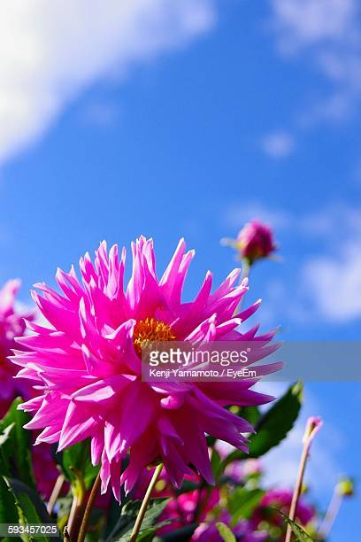 Close-Up Of Pink Dahlia Blooming Against Sky