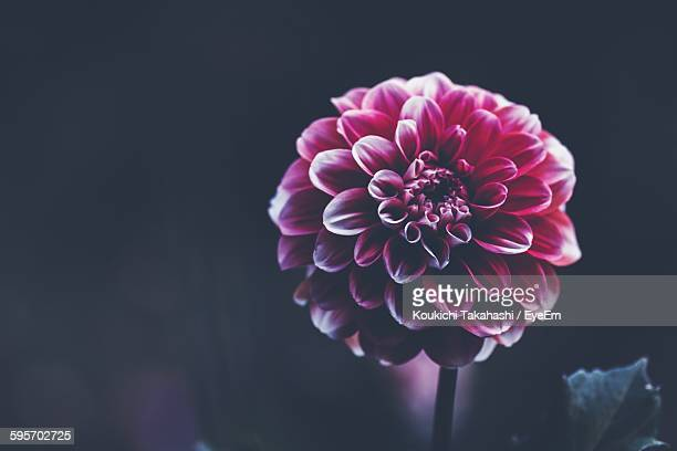 Close-Up Of Pink Dahlia Flower Blooming Outdoors