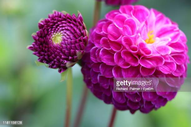 close-up of pink dahlia flower - glasgow scotland stock pictures, royalty-free photos & images