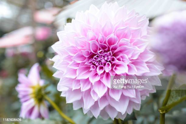 close-up of pink dahlia - chrysanthemum stock pictures, royalty-free photos & images