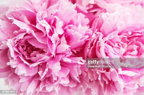 close-up of pink dahlia - peony stock pictures, royalty-free photos & images