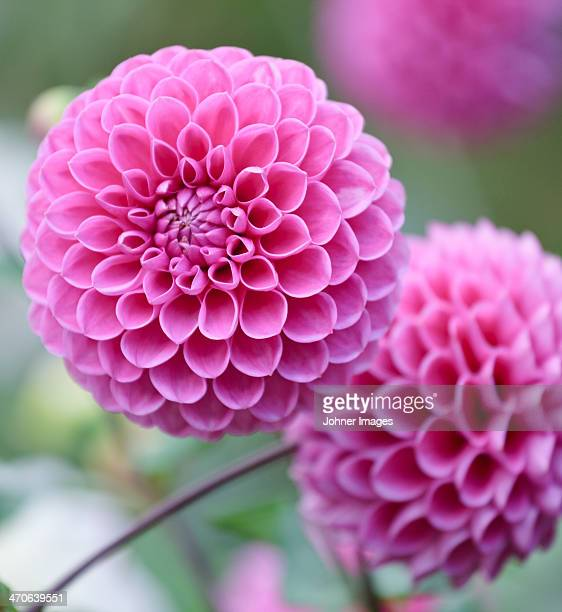 Close-up of pink dahlias