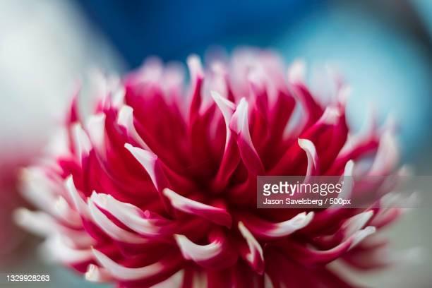 close-up of pink dahlia,seattle,washington,united states,usa - adobe stock pictures, royalty-free photos & images