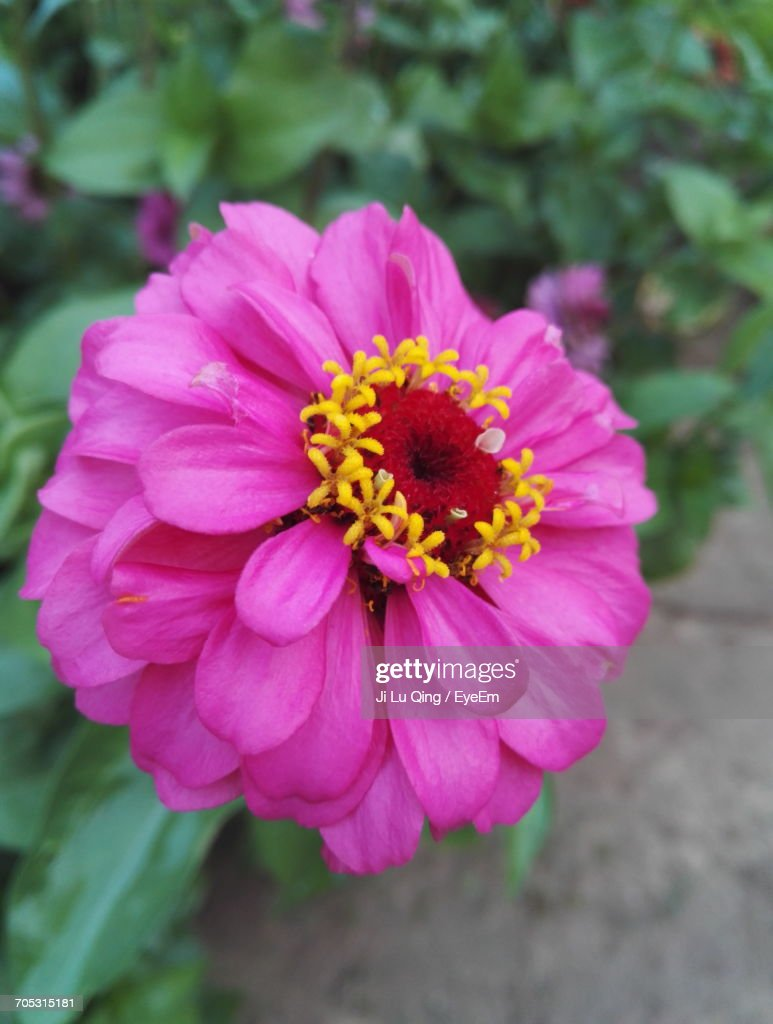 Closeup Of Pink Daisy Flower Stock Photo Getty Images