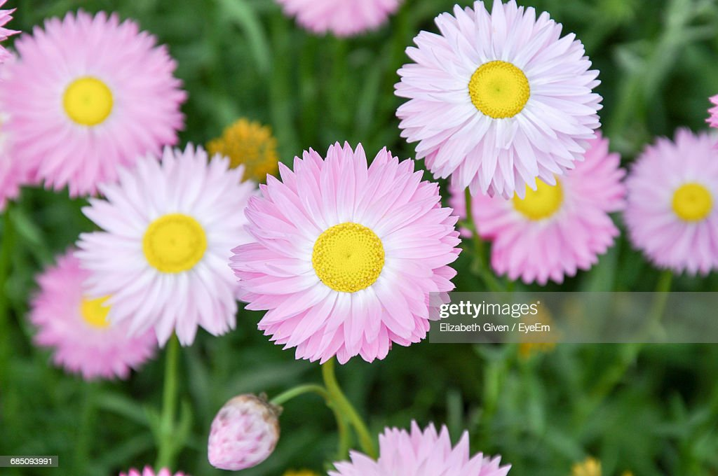 closeup of pink daisy flowers ストックフォト getty images