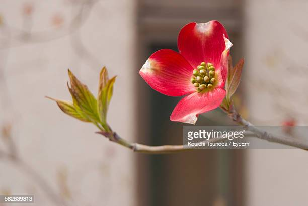 close-up of pink dogwood flower - dogwood blossom stock pictures, royalty-free photos & images
