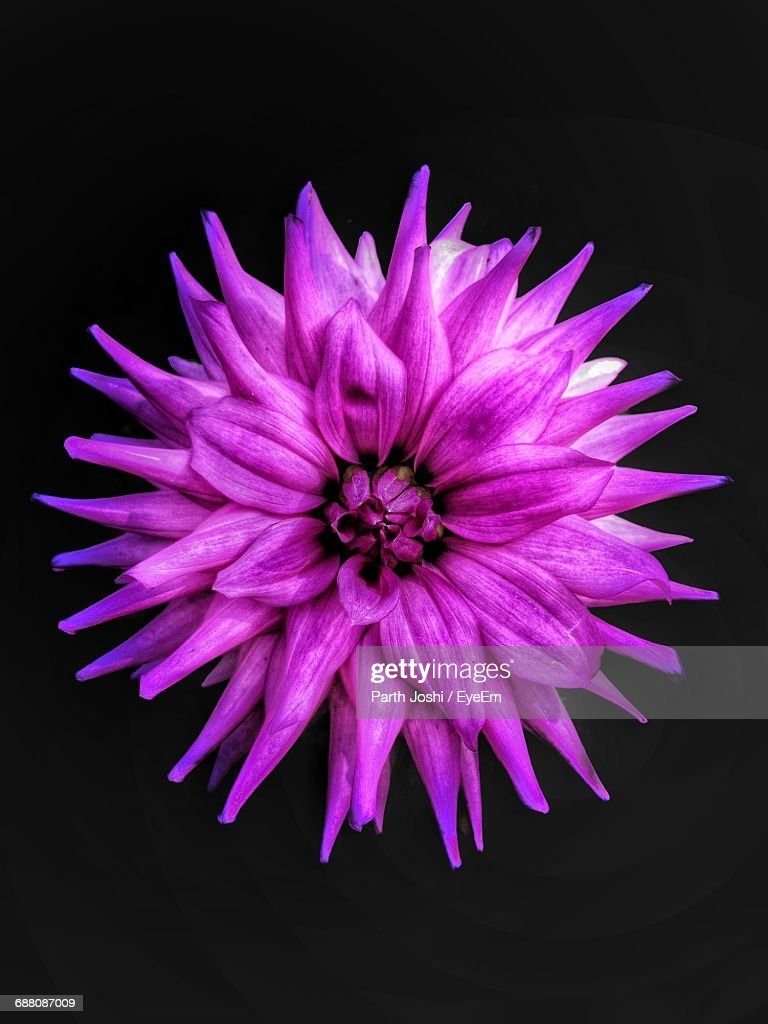 Closeup Of Pink Flower Against Black Background Stock Photo Getty
