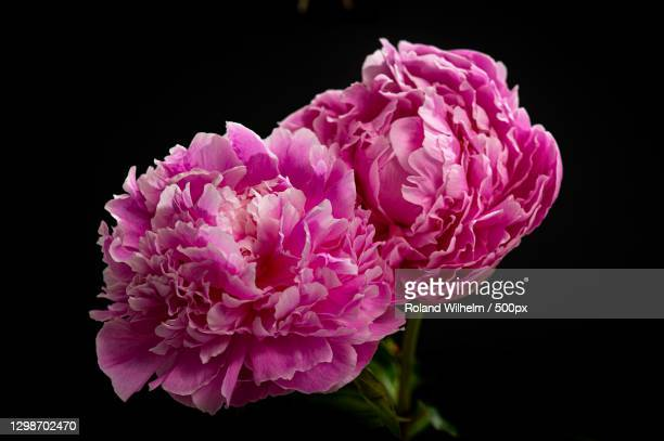 close-up of pink flower against black background,pasadena,california,united states,usa - pasadena california stock pictures, royalty-free photos & images