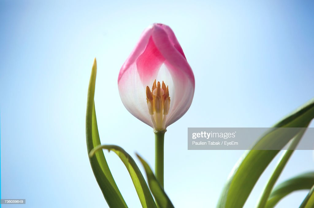 Close-Up Of Pink Flower Against Clear Sky : Stockfoto
