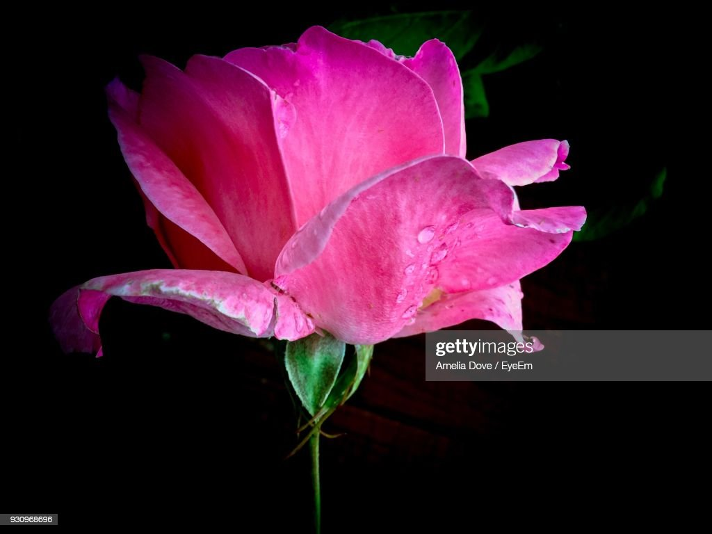 Closeup Of Pink Flower Blooming Against Black Background Stock Photo