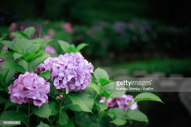 close-up of pink flower blooming in park - flower part stock pictures, royalty-free photos & images